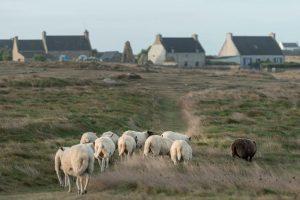 Moutons-de-Ouessant-®EB